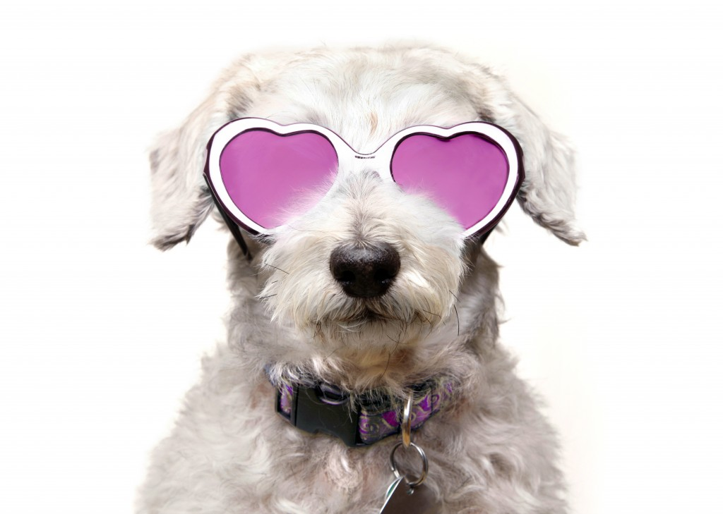 A schnoodle wearing rose tinted heart-shaped glasses.